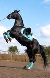 черный жеребец Стоковая Фотография