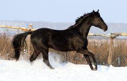 Черный жеребец Стоковое Изображение RF