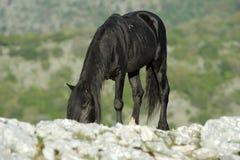 Черный жеребец Стоковое Фото