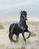 Черный жеребец Стоковые Изображения RF