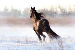 Черный жеребец Стоковые Изображения