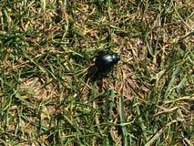 Черный жук идя над злаковиком Стоковое Изображение RF