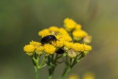 Черный жук на желтых цветках Стоковые Фотографии RF