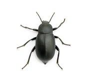 Черный жук Стоковые Изображения