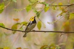 черный зеленый throated warbler Стоковое Изображение RF