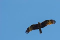 Черный змей, распространенные крыла летая в голубое небо Стоковое Изображение