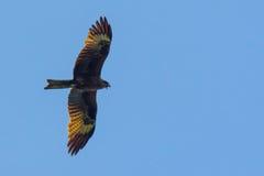 Черный змей, распространенные крыла летая в голубое небо Стоковая Фотография RF