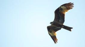 Черный змей, распространенные крыла летая в небо Стоковое Фото