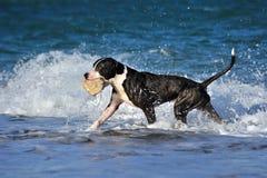 Черный играть собаки pitbull, бежать на волне моря на пляже стоковое фото