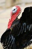черный индюк стоковая фотография rf