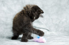 Черный длинный котенок волос играя с розовым пером мыши Стоковое фото RF
