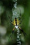 Черный и желтый Argiope Стоковое фото RF