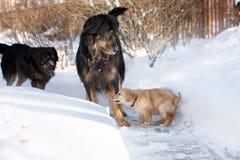 Черный и золотой щенок hovawart Стоковое фото RF