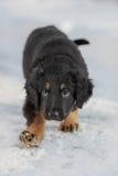 Черный и золотой щенок hovawart Стоковые Фотографии RF
