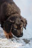Черный и золотой щенок hovawart Стоковые Изображения RF