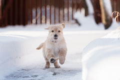 Черный и золотой щенок hovawart Стоковое Фото