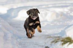 Черный и золотой щенок hovawart Стоковое Изображение RF