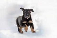 Черный и золотой щенок hovawart Стоковая Фотография RF