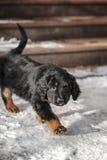 Черный и золотой щенок hovawart Стоковое Изображение