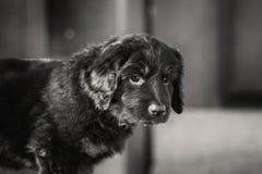 Черный и золотой щенок hovawart Стоковые Изображения