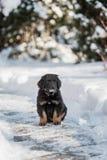 Черный и золотой щенок hovawart Стоковая Фотография