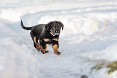 Черный и золотой щенок hovawart Стоковые Фото