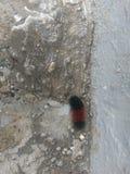 Черный и коричневый wooly червь в западной Индиане Стоковая Фотография