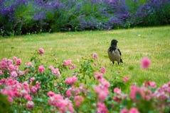 Черный и серый ворон ждать на траве в парке между различной Стоковые Изображения RF