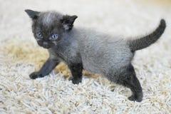 Черный и серый котенок 4 недели старой Стоковые Фотографии RF