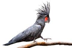 Черный какаду ладони Стоковая Фотография RF
