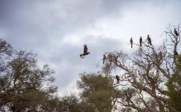 Черный какаду в полете Стоковые Изображения RF