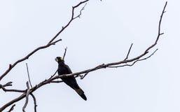 Черный какаду на мертвом дереве Стоковое Фото