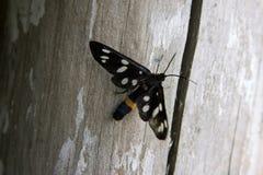 черный конец бабочки вверх Стоковая Фотография RF