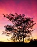 Черный контур дерева в задних пурпуре и красном свете захода солнца Стоковые Фотографии RF