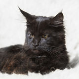 Черный котенок енота Мейна представляя на белом мехе предпосылки Стоковое Фото