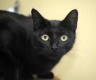 Черный кот Бомбея стоковое изображение