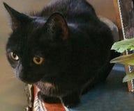 Черный кот в солнце Стоковые Фотографии RF