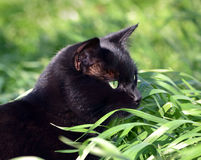 Черный кот в траве Стоковое Изображение