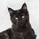 Черный кот енота Мейна представляя на белом мехе предпосылки Стоковые Фото