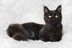 Черный кот енота Мейна представляя на белом мехе предпосылки Стоковое фото RF
