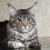 Черный кот енота Мейна представляя на стеклянном столе Стоковые Изображения RF