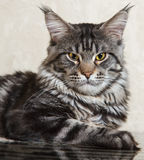 Черный кот енота Мейна представляя на стеклянном столе Стоковые Фото