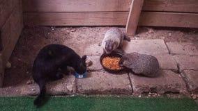 Черный кот есть с Groundhogs Стоковые Фото