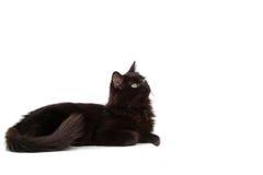 черный кот заинтриговал Стоковое фото RF