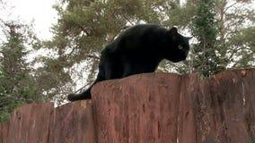 Черный кот идя вверх деревянная загородка акции видеоматериалы