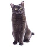 Черный кот изолированный на белизне Стоковые Изображения