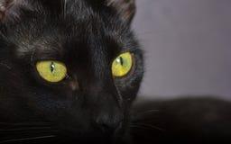 Черный кот, концепция хеллоуина Крупный план отечественного кошачьего усаживания Стоковые Изображения