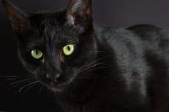 Черный кот, концепция хеллоуина Портрет отечественное кошачьего Стоковое фото RF