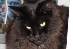 Черный кот опрокинул свою голову стоковые фото