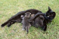 Черный кот подавая ей 3 маленьких котят Стоковое Изображение